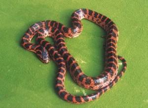 Banded Red Snake